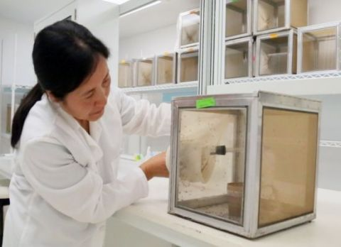 UTMB research associate Ruimei Yun catches some mosquitos with a vacuum device at UTMB's insectary.